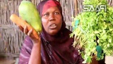 Photo of Beeraleyda Jowhar oo bilaabay in ay beertaan qudaarta noocyadeeda kala duwan