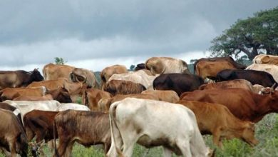 Photo of Wajir extends meat ban as RVF outbreak spreads