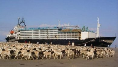 Photo of Saudi Sends Back Ship Carrying Somali Livestock
