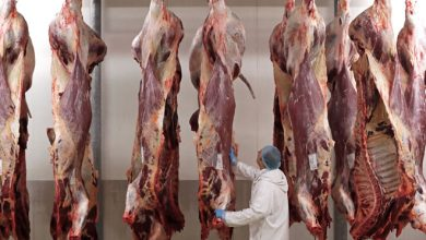 Photo of Belgium Bans Religious Slaughtering Practices, Drawing Praise and Protest
