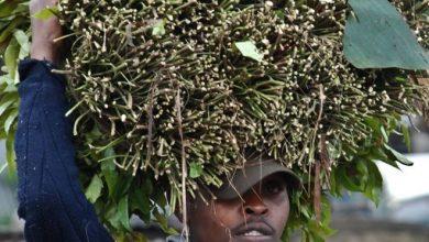 Photo of We're ready to lose Somalia market, miraa traders say