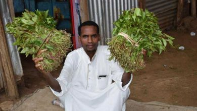 Photo of Chewing miraa bad for mental health, Kemri scientists say