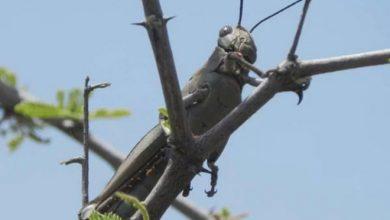 Photo of Locals resort to desperate measures to fight locust invasion
