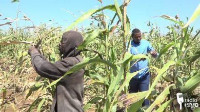 Photo of Farmers in southwestern Somalia harvest unripe cereals to beat locust invasion