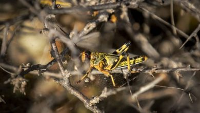 Photo of 'Where it Begins': Young Hungry Locusts Bulk up in Somalia