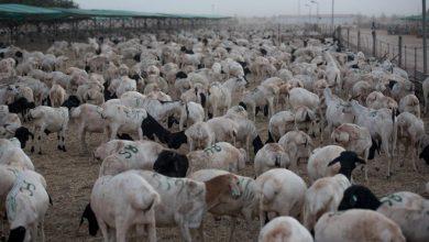 Photo of Saudi Arabia lifts ban on Somali livestock